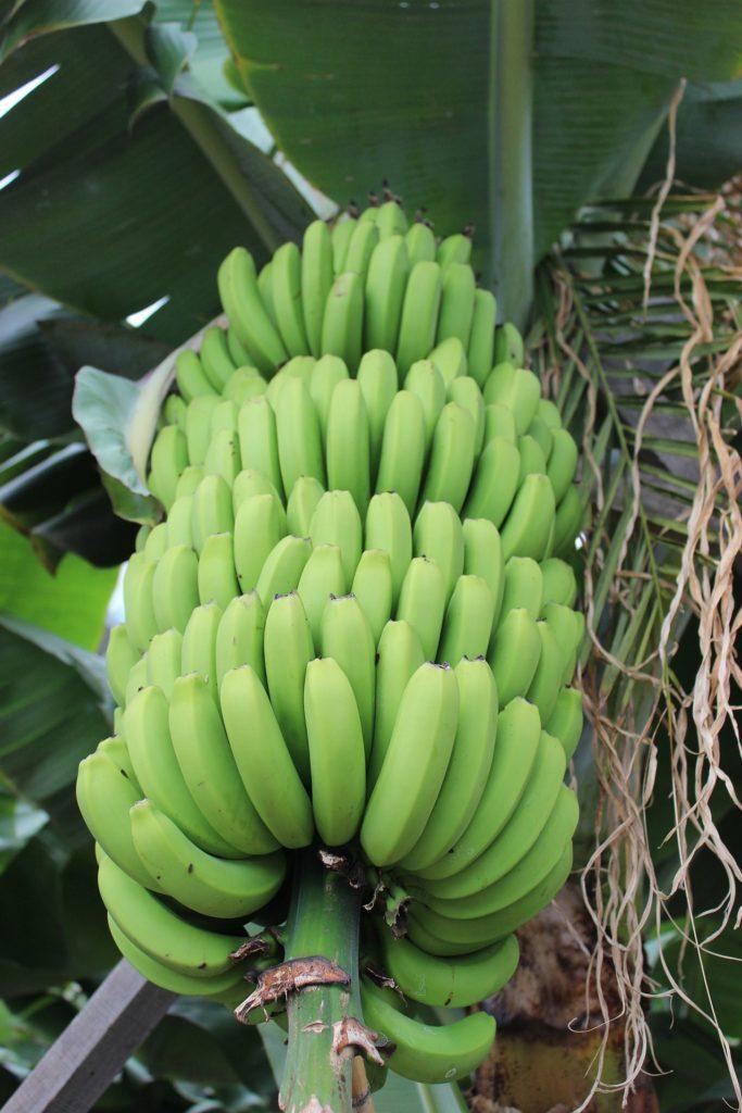 un bunch de banane verte